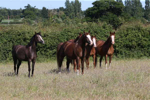 The mare herd - minus Maddie - waiting to be asked for another run (c) Bob Langrish MBE