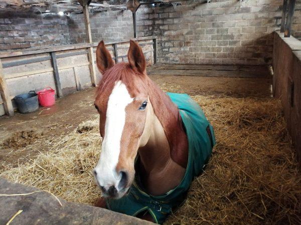Avonbrook Odin having a nap upon seeing his dressage saddle (c) Katherine Bertram