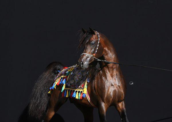 The iconic stallion Gazal Al Shaqab