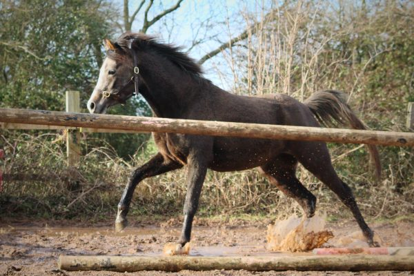A young mare galloping