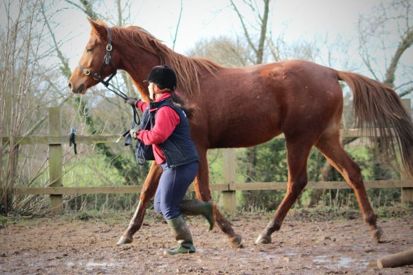 Chestnut Arabian horse trotting in hand with The Girl with Jumping Arabs