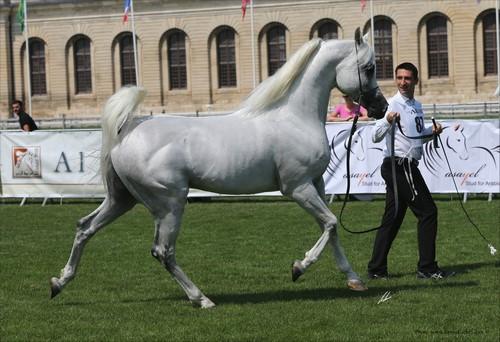 Mountassir - grey stallion