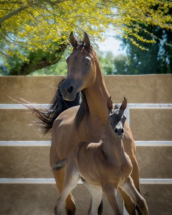 Royal Arabians foal Aston X GC Merpsydita