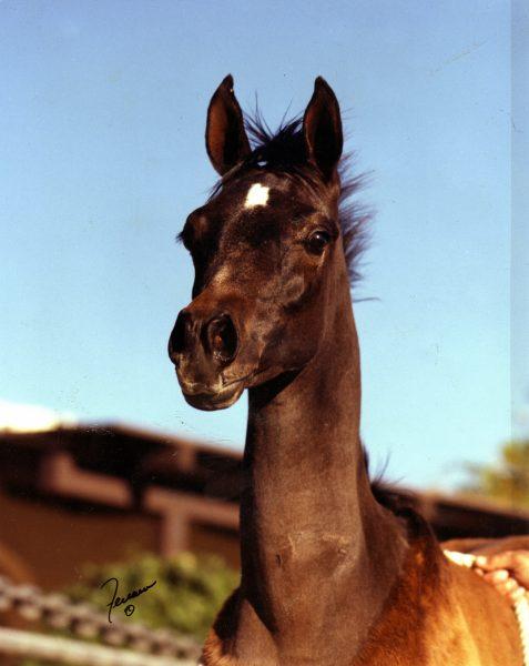 Ffatal as a foal at Om El Arab