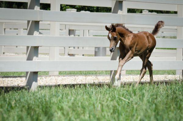 Dancing colt foal by Om El Benicio