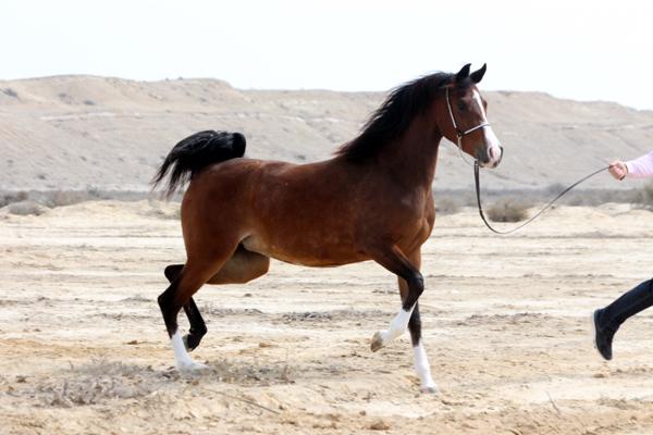 The Royal Arabian Studs of Bahrain