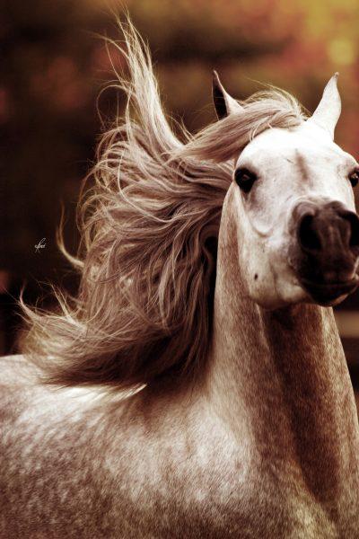 Cover star Arabian stallion Ramses Mishaal Nadir tossing his head