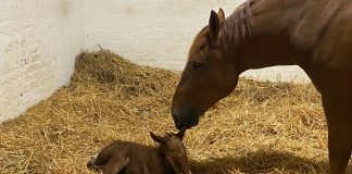 Suffolk Punch mare with filly foal